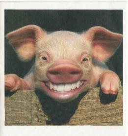 funny-pig
