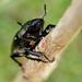 Female stag beetle...