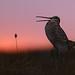 Great Snipe | dubbelbeckasin | Gallinago media