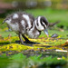 Chick of Lesser Whistling Duck