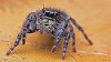 Phidippus audax bold jumping spider