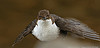 Dipper (Cinclus cinclus)