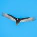 Urubu A Tête Rouge / Turkey Vulture